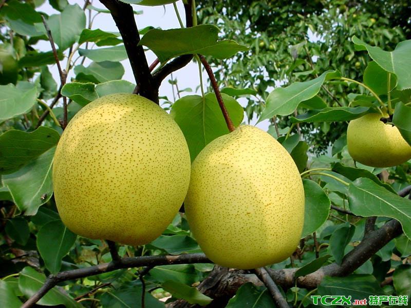 房山黄金梨