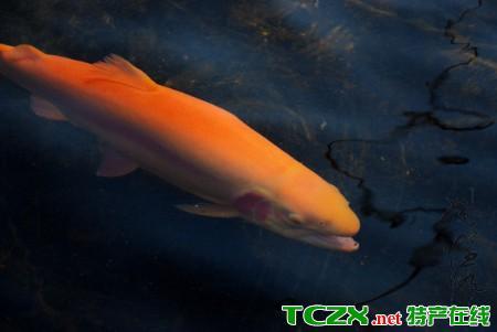 怀柔红鳟鱼