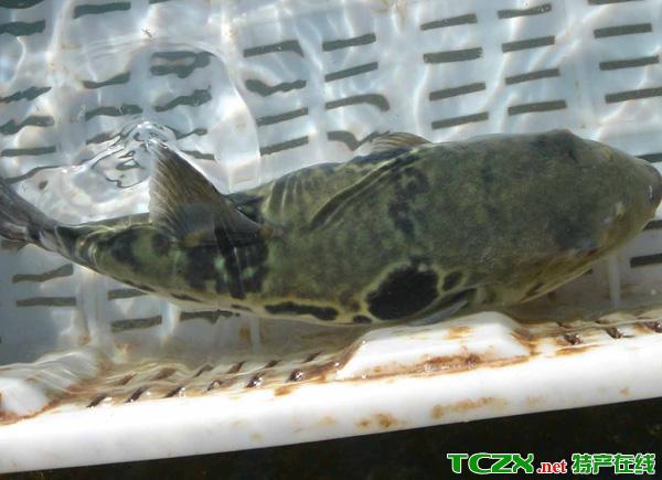 东方红鳍豚鱼