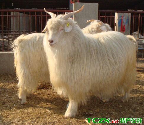 石楼菜羊(百叶籽羊)