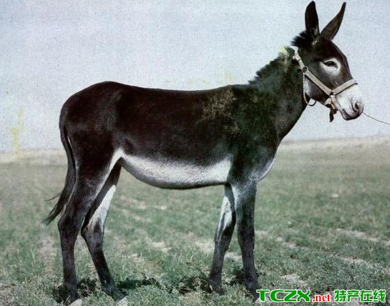 广灵画眉驴