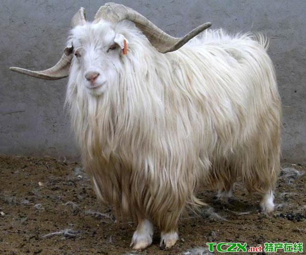 阿拉善白绒山羊
