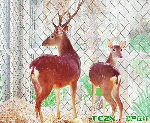 台湾梅花鹿