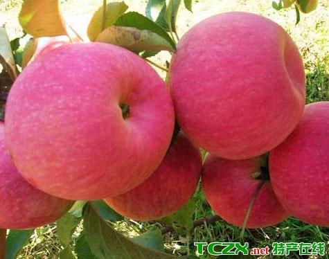 辽中寒富苹果
