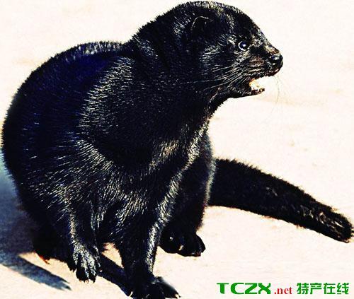 金州黑水貂
