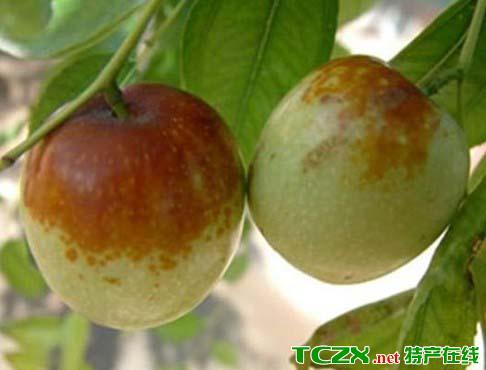 葫芦岛大红枣