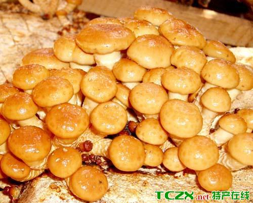 庄河滑子菇