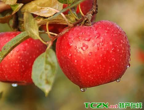 步云山苹果