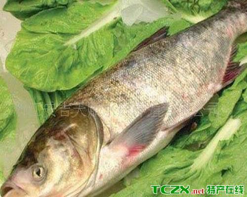 三道岭大鲢鱼