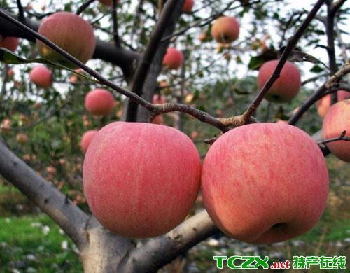 汤池寒富苹果