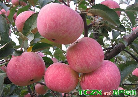 东马屯苹果
