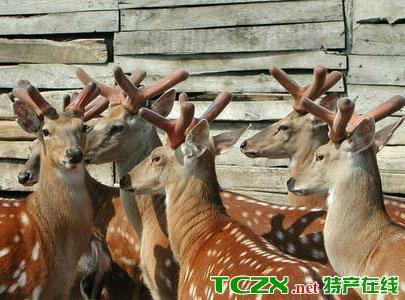 双阳梅花鹿