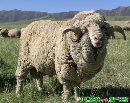 大安细毛羊