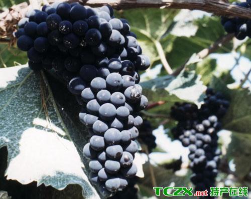 林区山葡萄