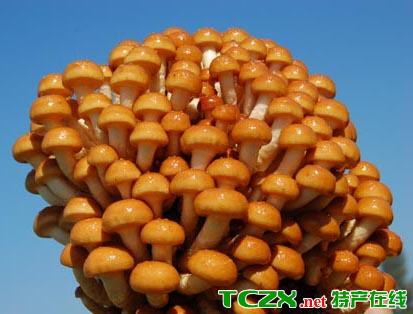 乌伊岭滑子蘑