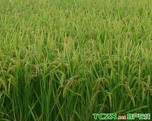 立陡山绿色水稻
