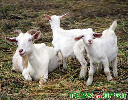崇明白山羊