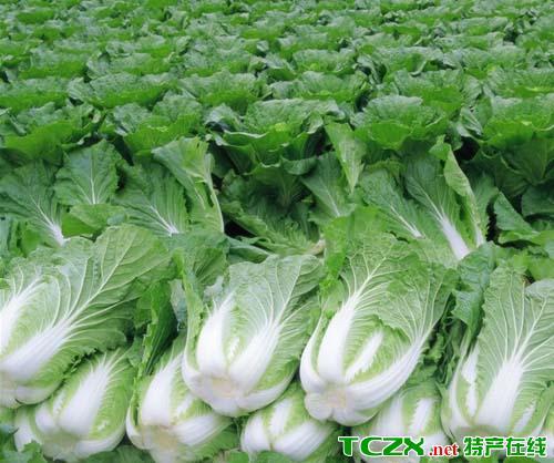 崇明大白菜