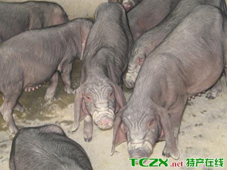 焦溪二花脸猪