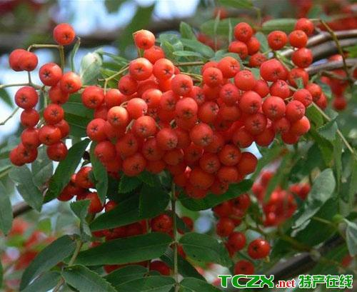顾山红豆树