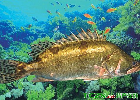 洪泽湖桂鱼