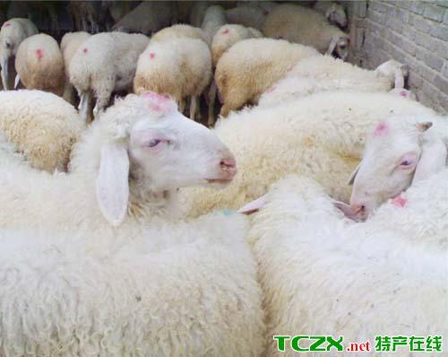 新华波尔山羊