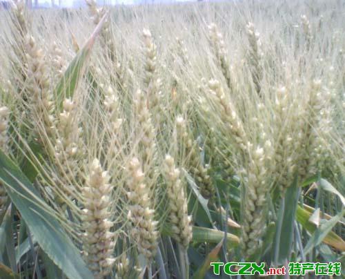 优质强筋小麦