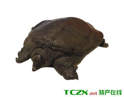 长江野生甲鱼