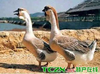 成武乡村鹅