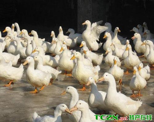 小杨屯村肉鸭