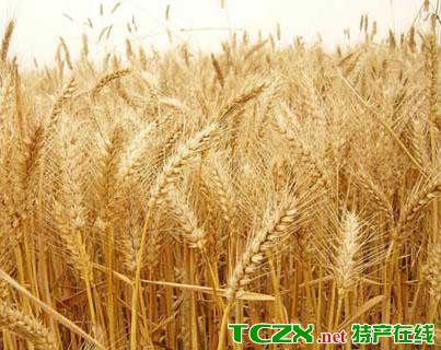 驻马店优质小麦