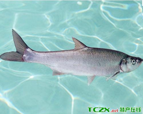 南湾湖鲌鱼
