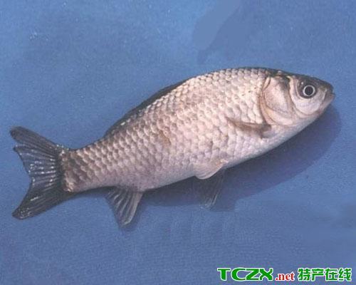 南湾湖鲢鱼