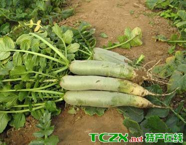 无量寺高青萝卜