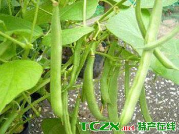 九节鞭菜豆