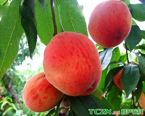 杨店水蜜桃