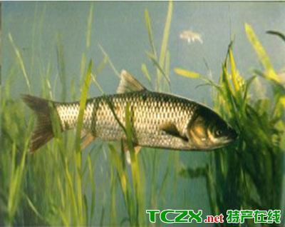 漳河水库草鱼