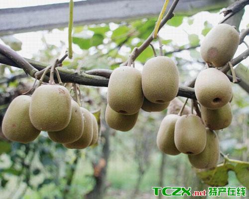 麻阳猕猴桃