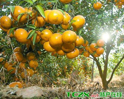 对塘坪柑橘