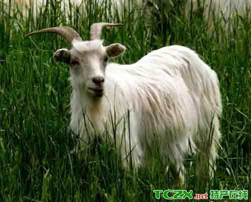 白切石山羊