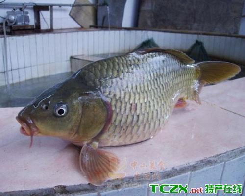 大湾麦溪鲤