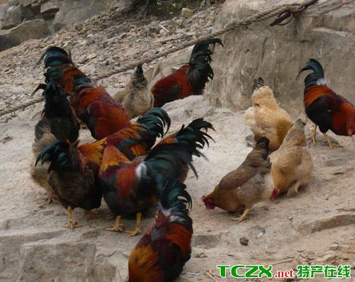 扶绥东门鸡