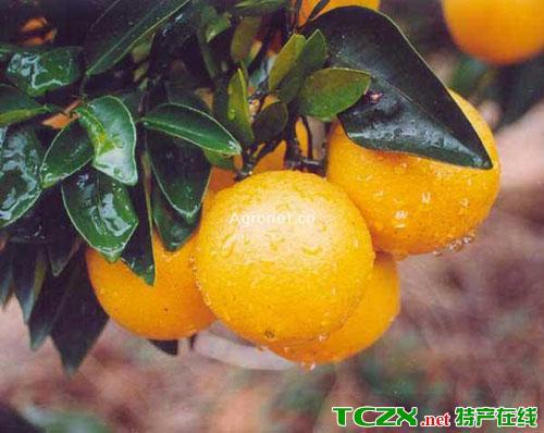 武宣金钱蜜橙
