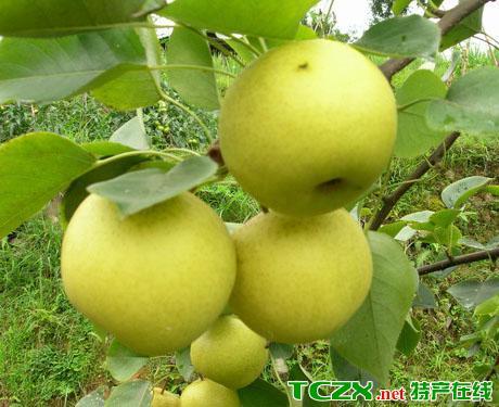 南山苹果梨