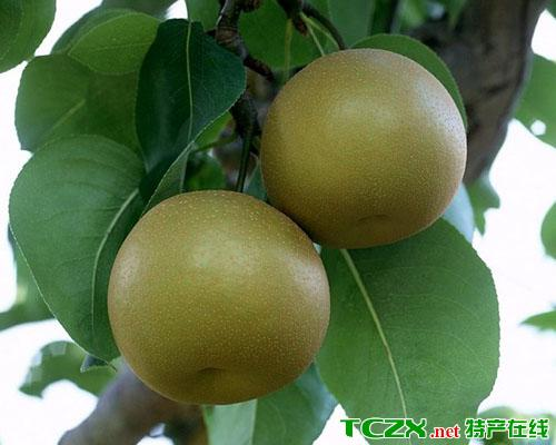 南方优质梨