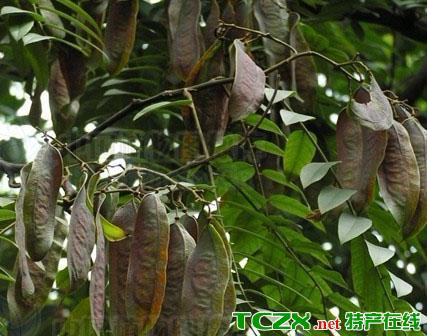 平果任豆树
