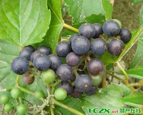 归东野葡萄