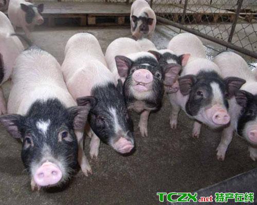 皮薄肉鲜香猪
