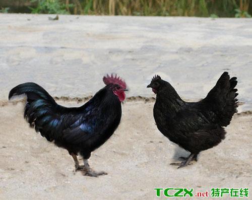 东兰三乌鸡
