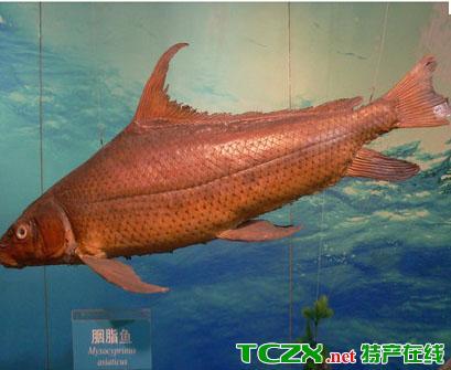 万县胭脂鱼